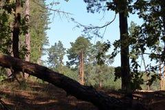 结构树在森林里 图库摄影