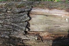 结构树的吠声 免版税库存照片