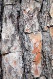 结构树的吠声 免版税库存图片