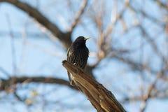 结构树的椋鸟科 库存图片