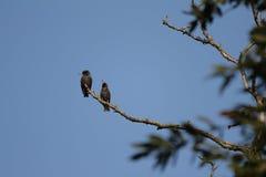 结构树的椋鸟科 免版税库存图片