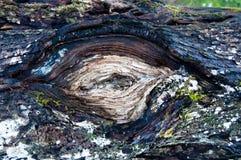 结构树的眼睛 库存照片