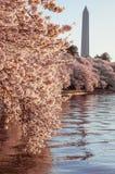 构筑华盛顿纪念碑的樱花 库存图片