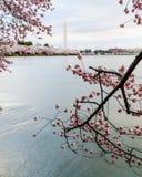 构筑华盛顿纪念碑的樱花 图库摄影