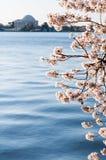 构筑杰斐逊纪念品的樱花 库存图片