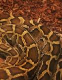 构造一条致命的水蟒蛇的特写镜头图象 库存图片