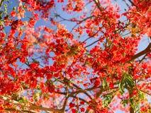 构造从开花的花和叶子的红色美丽的开花的明亮的红色异乎寻常的桃红色桔子有分支的反对蓝色sk 免版税库存图片