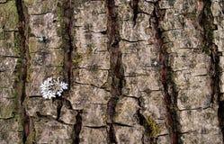构造吠声棕色林木树干青苔地衣 免版税库存照片