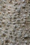 构造木棉树木棉树或红色棉花树背景  图库摄影