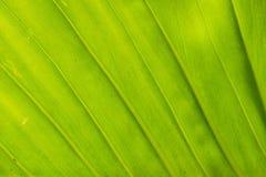构造背后照明新鲜的绿色叶子背景 免版税库存图片