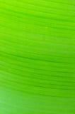 构造背后照明新鲜的绿色香蕉叶子背景  免版税图库摄影