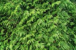 构造-绿色针叶树 库存图片