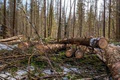 林业 云杉的树干特写镜头在击倒以后的 免版税库存照片