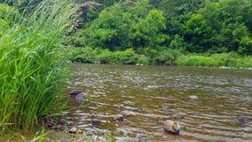 林木包围的美丽的流动的河在夏天 从树被排行的河岸的观点在森林地里面 股票视频