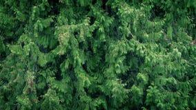 林木在大雨中 影视素材