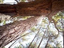 林木容忍 库存图片