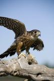 默林猎鹰 库存图片