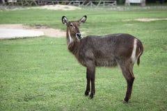林羚动物园 库存图片