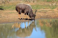 林羚羚羊饮用的水的南非 库存照片