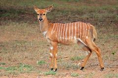 林羚羚羊-南非 库存照片