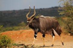 林羚(非洲羚羊类angasii)公牛 库存照片