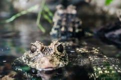 林肯公园动物园-小鳄鱼/鳄鱼 库存照片