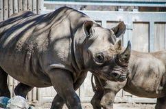 林肯公园动物园-犀牛 免版税库存图片
