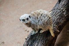 林肯公园动物园- Merekat 库存图片
