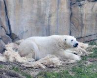 林肯公园北极熊 免版税库存照片