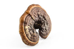 林芝蘑菇或reishi蘑菇 库存图片