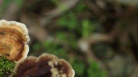 林芝蘑菇, 股票录像