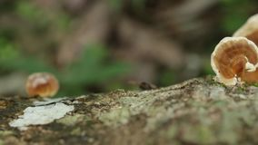 林芝蘑菇, 股票视频