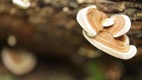 林芝蘑菇, 影视素材