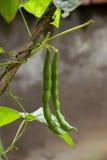水果和蔬菜食物----青豆 免版税图库摄影