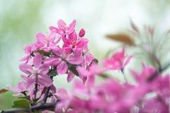 果子与桃红色花的成年树在春天 库存图片