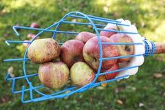 果子充分捡取器篮子苹果在一个晴天 库存图片