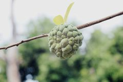 果子在树的分支 免版税库存照片
