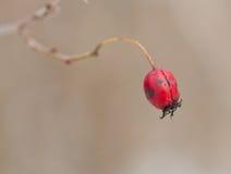 果子山楂树 库存照片