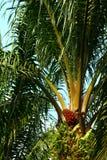 果子成熟的油棕榈树 免版税图库摄影