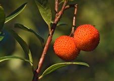 果子成熟草莓树 免版税库存图片
