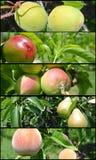 果子拼贴画-未成熟的绿色油桃、桃子、杏子、苹果和梨在树 免版税库存图片