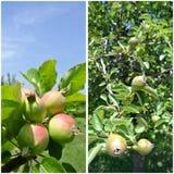 果子拼贴画-未成熟的绿色苹果和梨在树 免版税图库摄影