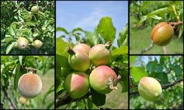 果子拼贴画-未成熟的绿色油桃、桃子、杏子、苹果和梨在树 图库摄影