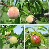 果子拼贴画-未成熟的绿色油桃、桃子和杏子在树在果树园 免版税库存照片