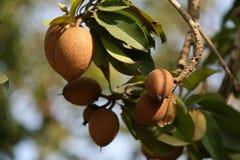 果子是生长和ripenning在越南的南部的一个果树园 免版税库存图片