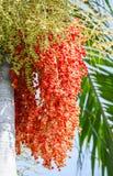 果子棕榈 免版税库存图片