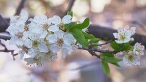 果子樱桃树是开花的令人惊讶的特写镜头