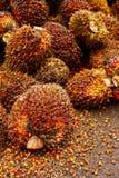 果子油棕榈树 免版税库存图片