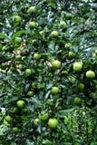 果子疯狂和水下落 在一棵苹果树的小苹果在果树园,在初夏 免版税图库摄影