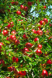 果子苹果 免版税库存照片
